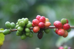 ORGANIC_HALAL_COFFEE_bean